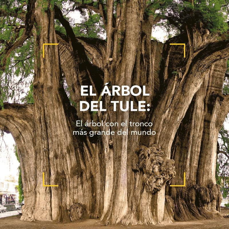 El árbol con el tronco más grande del mundo