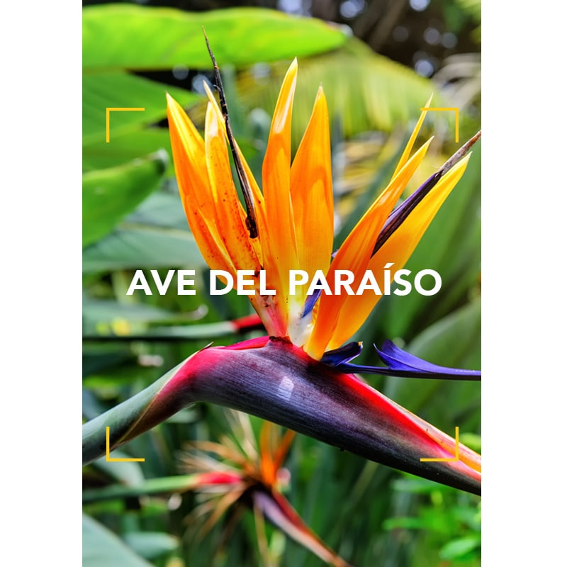 El Ave del Paraíso