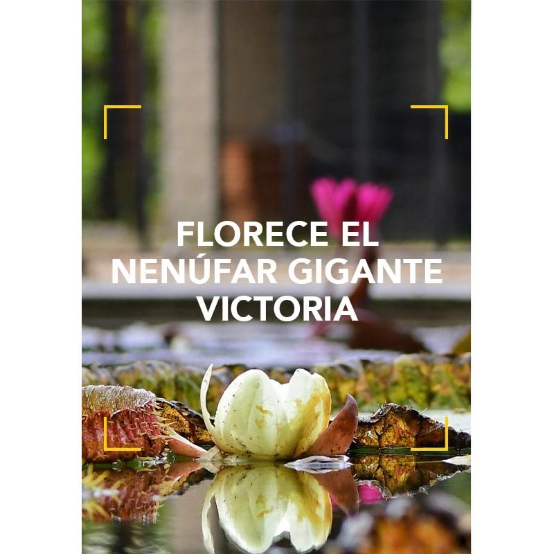 Florece el nenúfar gigante Victoria en el Real Jardín Botánico